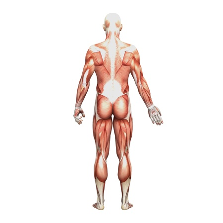 Male anatomy and muscles
