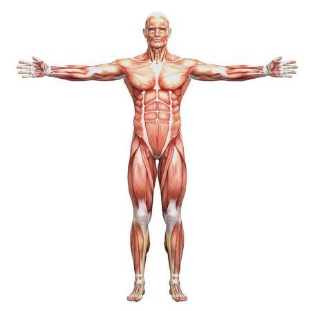 남성 해부학 및 근육