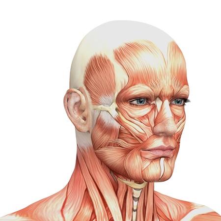 남성 해부학과 근육