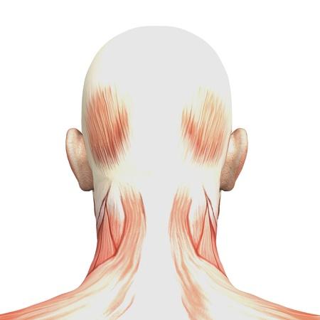 男性の解剖学、筋肉
