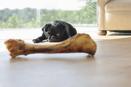 Dog resisting bone in living room LANG_EVOIMAGES