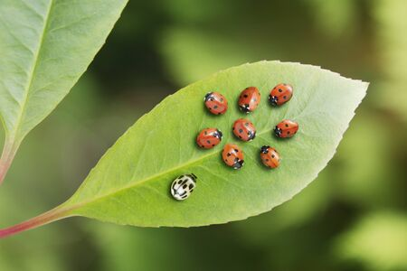 Unique ladybug standing out from the crowd on leaf