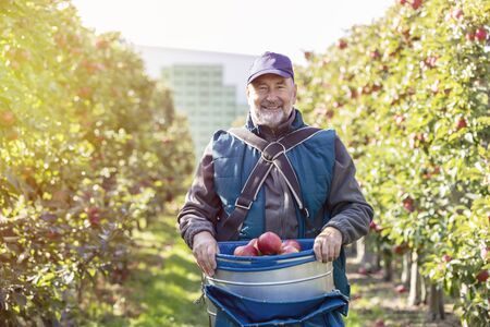 le cap: Portrait smiling male farmer harvesting red apples in sunny orchard