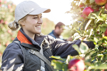 le cap: Smiling female farmer harvesting apples in orchard