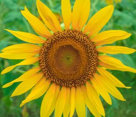 Single Sunflower in field with Blur Background
