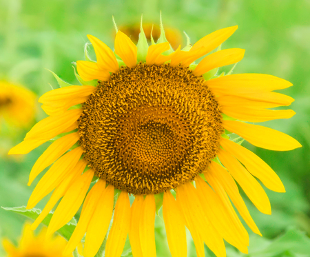 Sunflower in Field with Blur Background Stock Photo