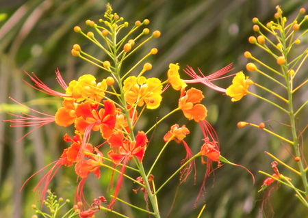 Royal Poinciana or Flamboyant Delonix regia. Stock Photo