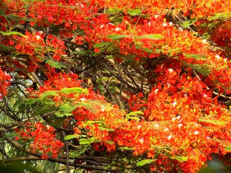 Gulmohar Flowers, Delonix regia in Bloom in Gurgaon, India Stock Photo