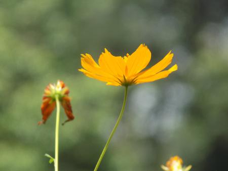 Gleaming Marigold; Tagetes lucida