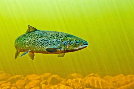 An Atlantic salmon makes its way upstream to spawn. 스톡 콘텐츠