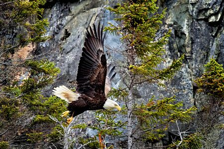 A bald eagle decends to capture its prey. Banque d'images - 133089039