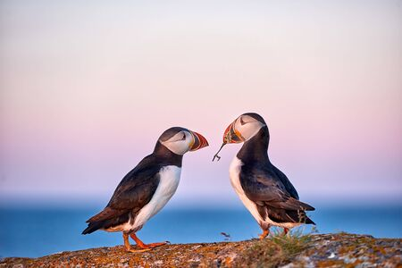 Atender moment of love between two puffins. Banque d'images - 133089038