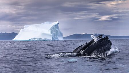 The rare capture of a feeding whale and iceberg together. Banque d'images - 132970188