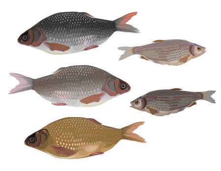 bream: Fish on white background. Vector illustration Illustration