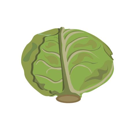 Cabbage. Vector illustration