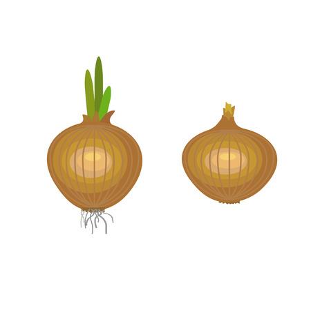 Onions vector illustration