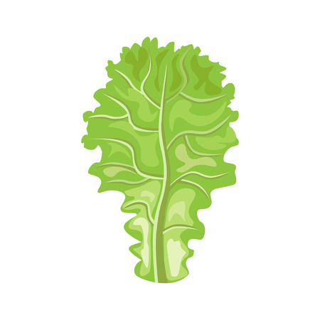 leaf lettuce: Leaf of lettuce. Vector illustration