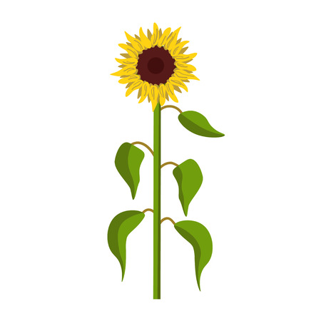 Sunflower, front view. Vector illustration