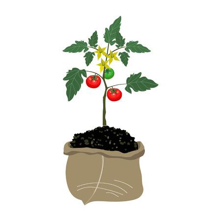 turba: Tomates en la bolsa de cultivo Vectores