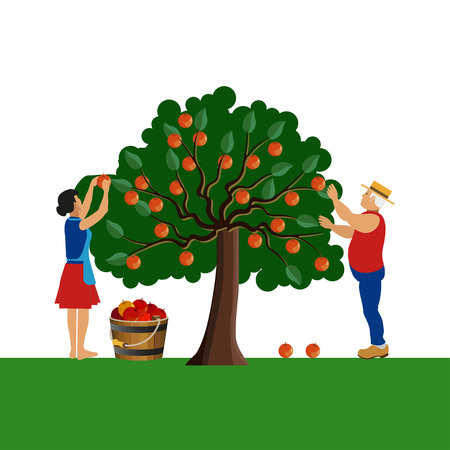 Farmers gathering apple harvest. Vector illustration
