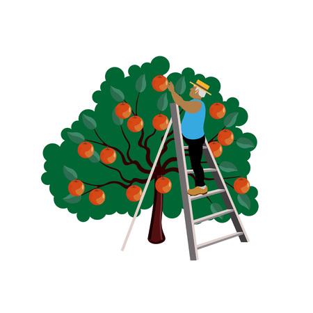Farmer gathering apple harvest. Vector illustration