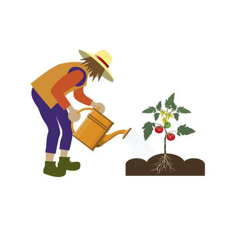 Gardener watering tomatoes. Vector illustration