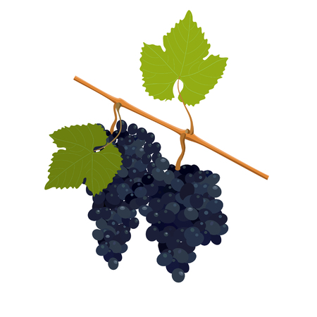 winemaking: Vector wine grapes Illustration
