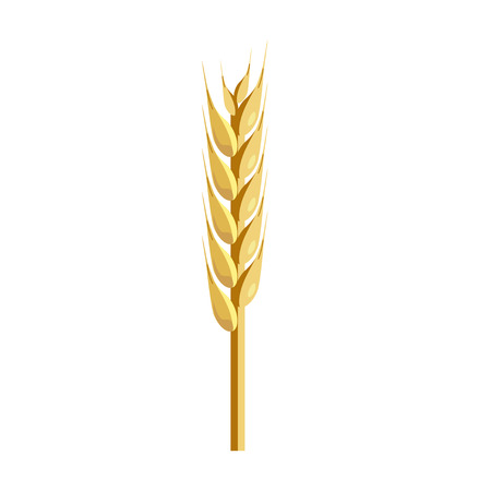 the spikes: Wheat ear. Realistic vector illustration