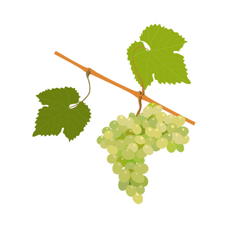 winemaking: Vector bunch of grapes