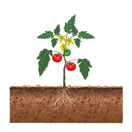 Tomate avec des fruits et des fleurs. Illustration vectorielle Banque d'images - 72984407