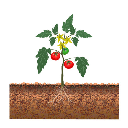 Tomato bush with fruits and flowers. Vector illustration Stock Illustratie