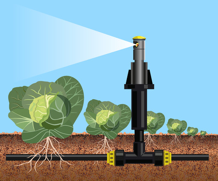 Cabbage field watering. Vector illustration