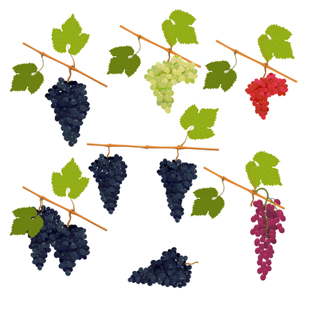 Set of vector wine grapes Illustration