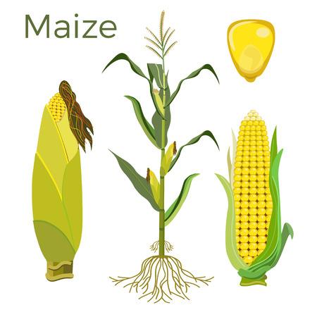 Set of maize plant. Vector illustration