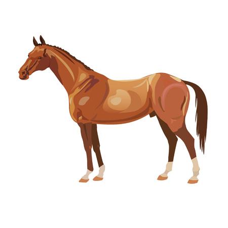 Bay arabian mustang stallion on white background. Vector illustration.