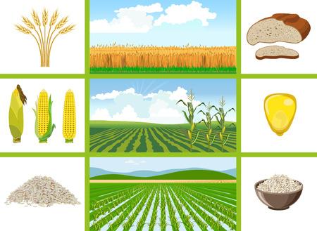 농업 분야 - 밀, 옥수수, 쌀. 벡터 일러스트 레이 션.