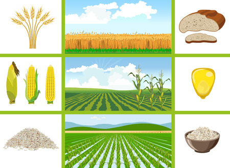 Agricultural fields - wheat, maize, rice. Vector illustrations.