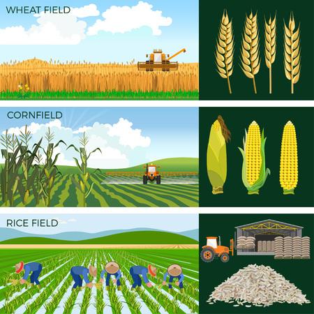 Reeks landbouwgebieden tarwe, maïs, rijst. Vector illustraties. Vector Illustratie