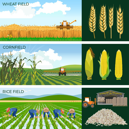 Set of agricultural fields- wheat, maize, rice. Vector illustrations. Vettoriali