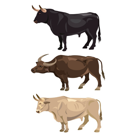 Set of standing bulls. Side view. Vector on the white