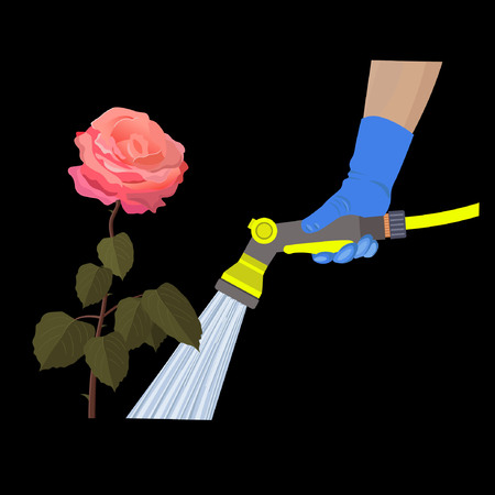 Human hand holding hose sprayer and watering rose flower