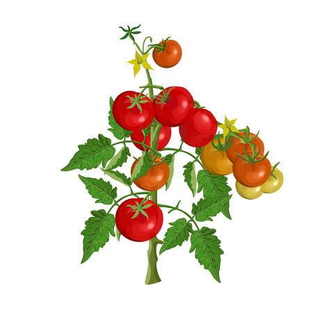 Tomato bush with fruits and flowers. Vector illustration Illustration