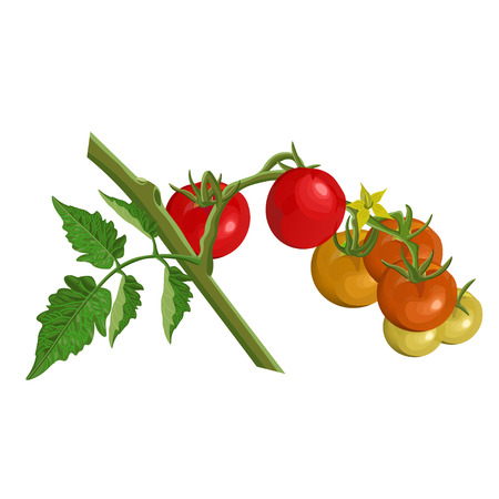 Tomato branch with red and green tomatoes. Vector illustration