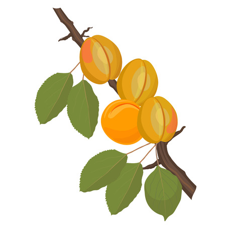 Apricot tree branch with ripe fruits on it. Vector illustration