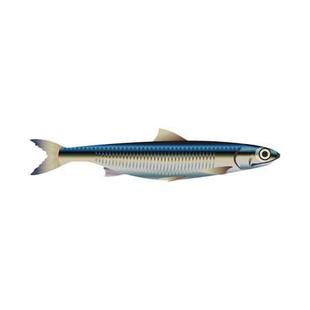 Anchovy fish. Vector illustration on the white background