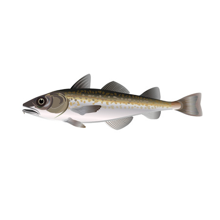 Alaska pollock. Vector illustration on the white background Ilustração