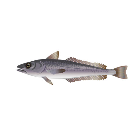 Hake fish. Vector illustration on the white background Stock Illustratie