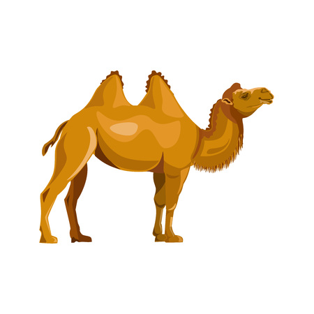 Bactrian camel. Vector illustration isolated on white background Illustration