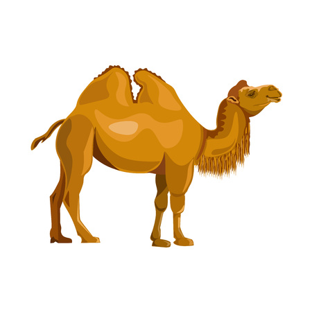 Bactrian camel. Vector illustration isolated on white background Stock Illustratie