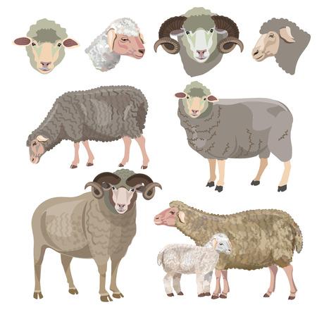 Set of sheep on white background. Vector illustration